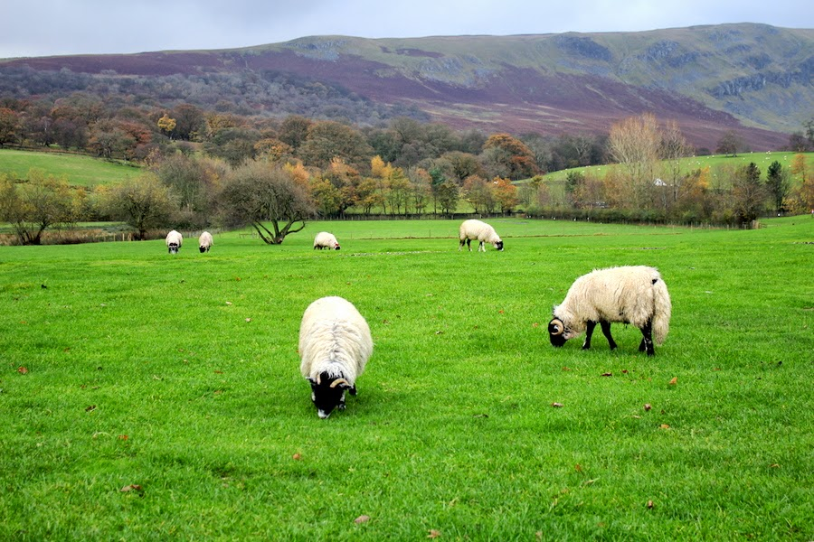 lakedistrict sheep2