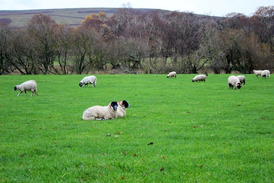 lakedistrict sheep3