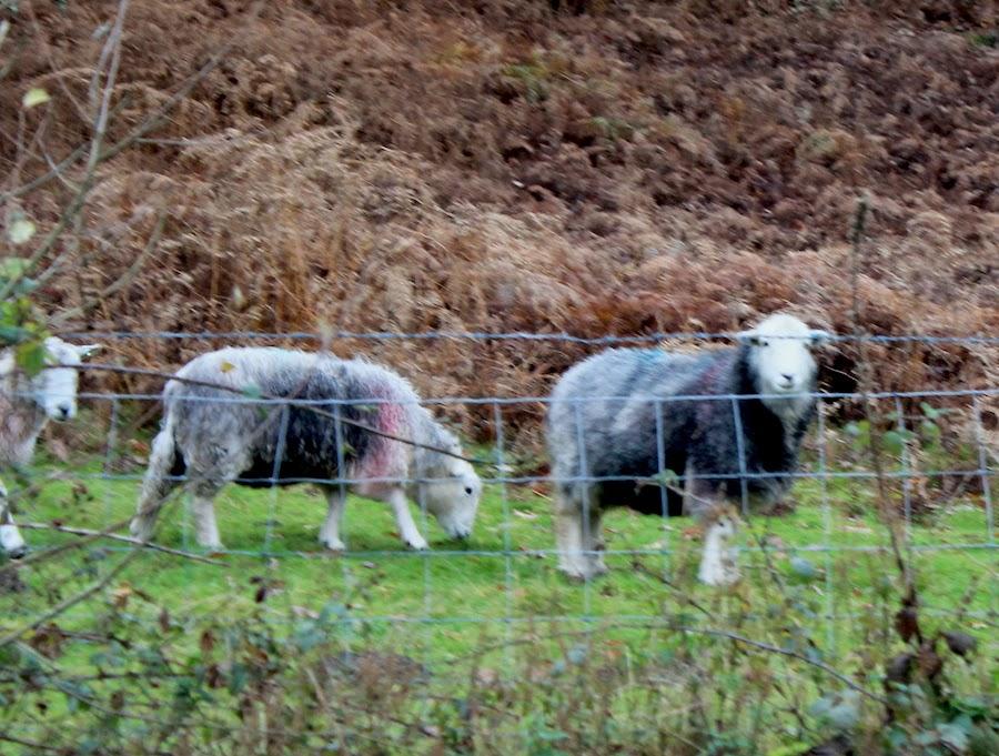 lakedistrict sheep5