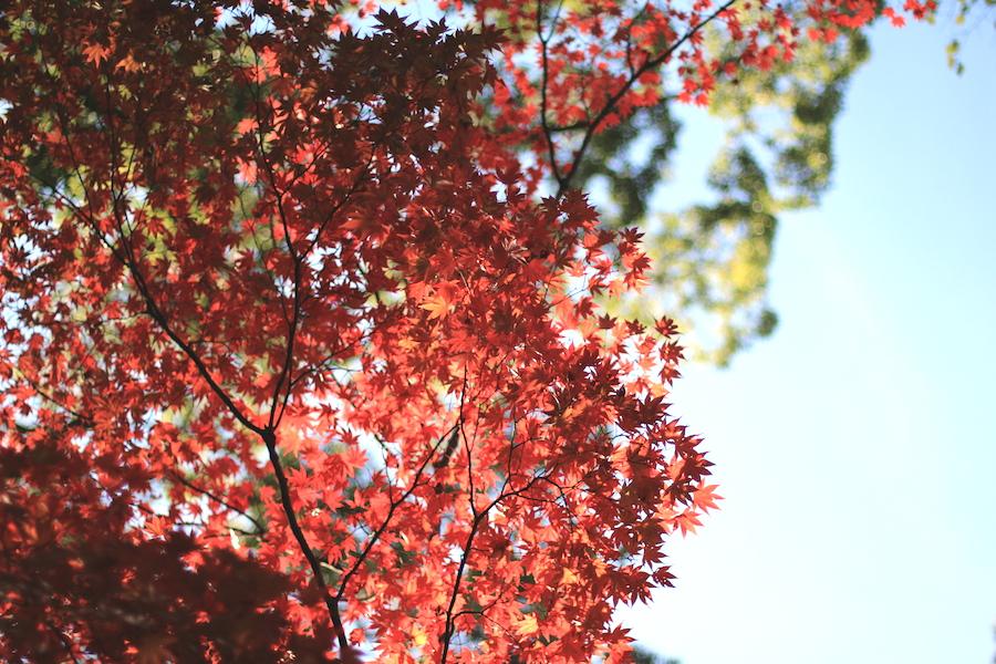【京都洛中】秋もおすすめ京都御苑&御所と近くのおすすめ茶寮とらや