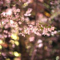 【東京】都内での個人的桜の名所厳選3箇所紹介します