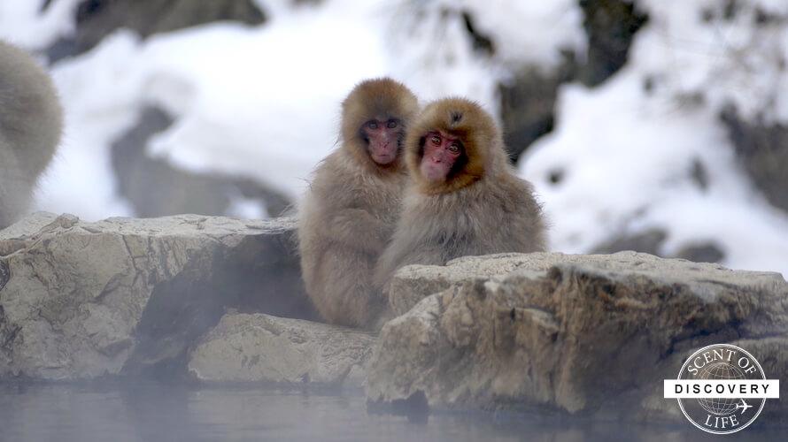 【長野】スノーモンキーを見るなら寒い冬の寒い日!
