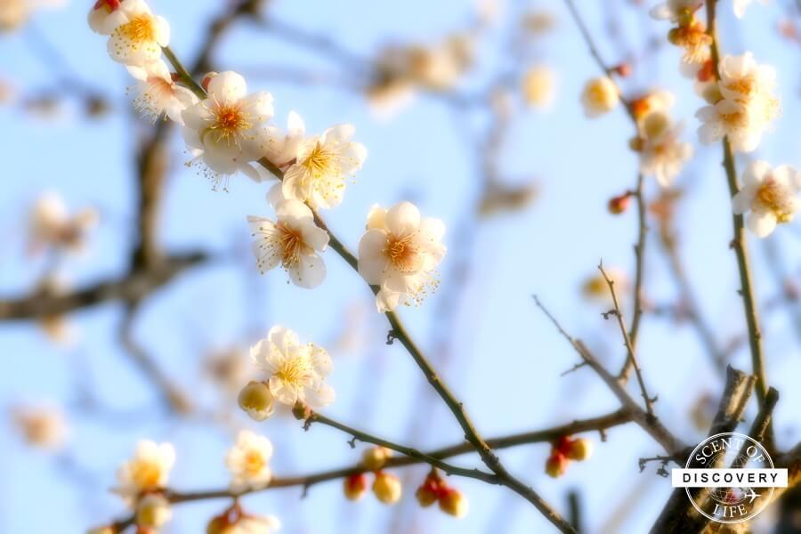 日本らしい梅のある風景